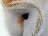 barn-owl