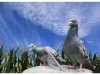 3rd_John-A-Hill_i-dont-beleve-its-a-camera-two-feral-pigeons