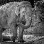 robbie_elephant